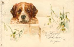 A HAPPY CHRISTMAS TO YOU  St. bernard & snowdrops