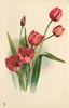 five red tulips and a bud, tallest tulip facing right