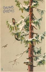 tall tree with cones, two  birds on the end of snow covered branch