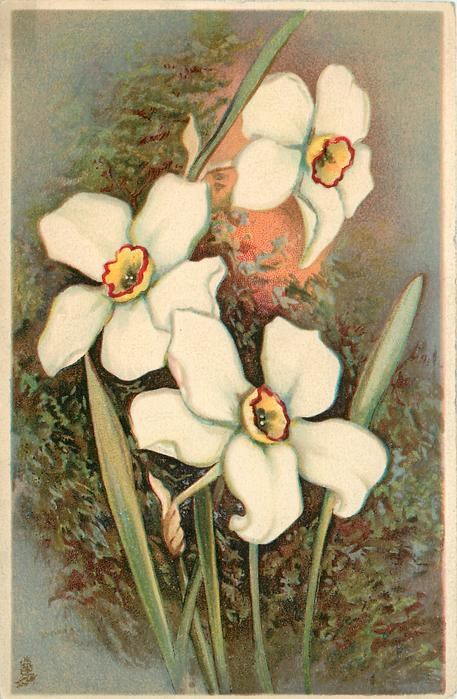 three narcissi, top flower faces slight right