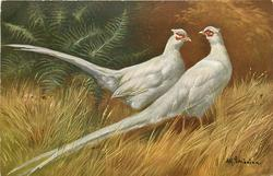 WHITE PHEASANTS