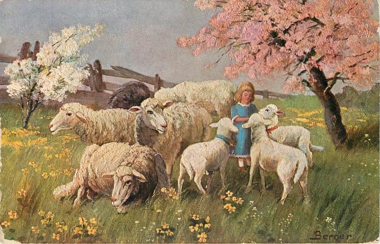 many sheep, child in blue dress