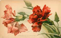 STUDY OF CARNATIONS