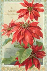 A MERRY CHRISTMAS three flowers along right side, greeting is on left, another flower just below greeting