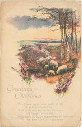 GREETINGS FOR CHRISTMAS, sheep grazing, silver birches