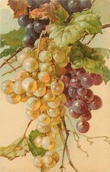 grapes, white, purple and black