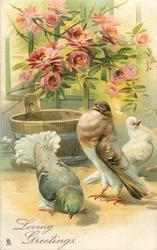 LOVING GREETINGS  three pigeons on ground, brown/white pouter displays to grey/green bird before him, white bird looks right, tub behind, roses above