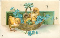 three yellow chicks in basket filled with forget-me-nuts, one outside left