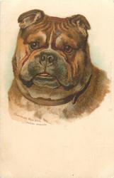 CHAMPION BULL DOG