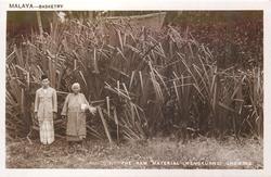 THE RAW MATERIAL, MENGKUANG GROWING, two natives & clump of mengkuang