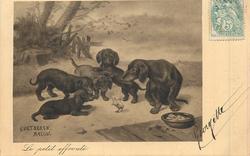 LE PETIT EFFRONTE chick peeps at 4 curious dachshunds that surround it
