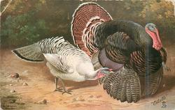 male and white female turkeys, both look right, signature lower left