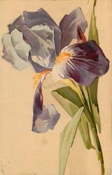 purple iris, stalks right