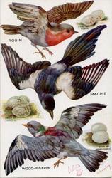 ROBIN, MAGPIE, WOOD-PIGEON & EGGS & their eggs