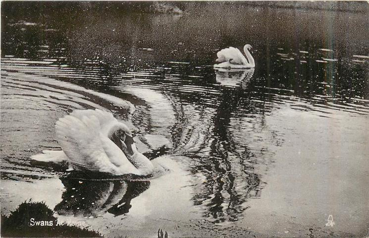 SWANS AT HOME