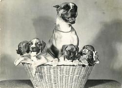 mom behind five puppies in basket
