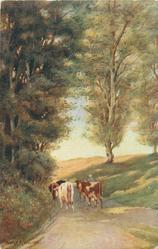 four cows walk away down road, tall trees