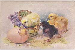 3 yellow & one blue-black chick watch another chick hatch