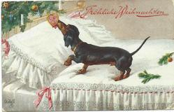 Dachshund on bed licking heart-shaped biscuit haning on xmas-tree