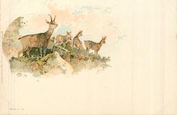 deer, short antlers (chamois)