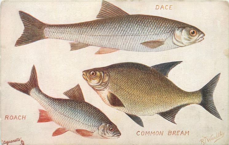 DACE, ROACH , COMMON BREAM