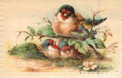 bullfinch perched over two chicks & 2 eggs
