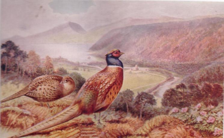 PHEASANTS cock & hen on hillside, looking across valley