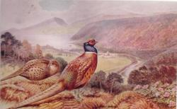 PHEASANTS cock & hen on hillside, looking across valley