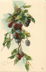 STUDY OF PLUM BRANCH