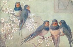 five blue birds with red faces perch in blossom tree