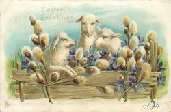 EASTER GREETING, sheep and pussy willow